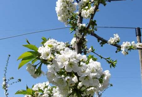 Blühende Kirschen