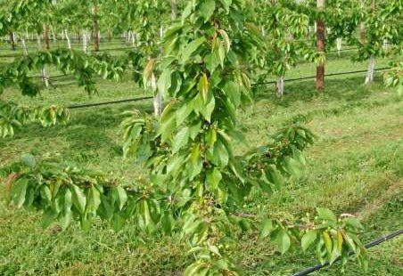 Einjaehriger Kirschenbaum
